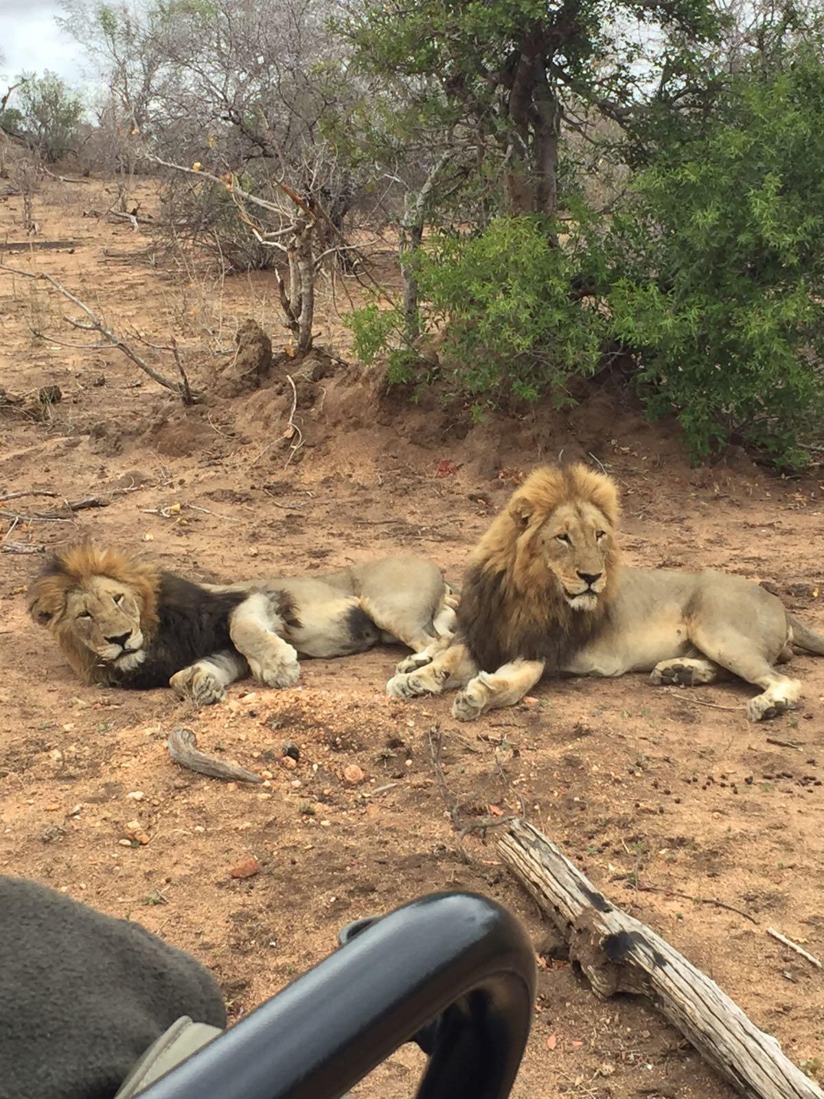lions-up-close